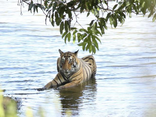Where are the big cats? Curious case of Ranthambore's missing tigers
