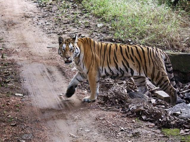 (Representative image)Two tigers escaped from a big cat shelter near a small Dutch village and were being tracked by police.