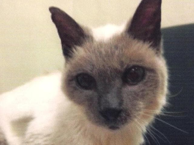 Scooter, the Siamese cat who was born during the Reagan administration, was named by Guinness World Records as the world's oldest cat.