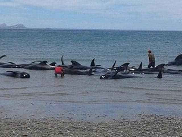 Soldiers and villagers try in vain to move beached whales into deeper waters in a beach known as Playa Bufeo, near Ensenada in Mexico's Gulf of California.