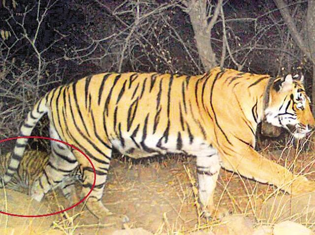 A five-month-old cub is caught on camera in Sariska walking with tigress ST 9.