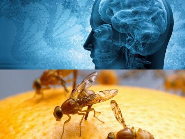 According to the study, because fruit flies grow old quickly, observing them allows researchers to rapidly study the long-term consequences of traumatic brain injury.