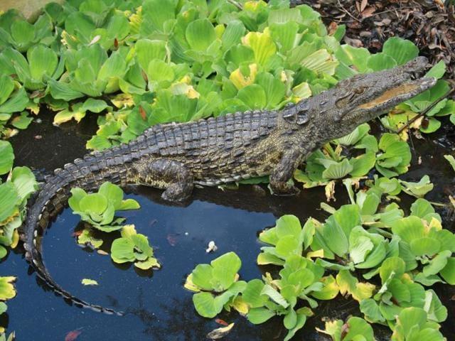 Crocdiles,Floride,Nile crocodiles