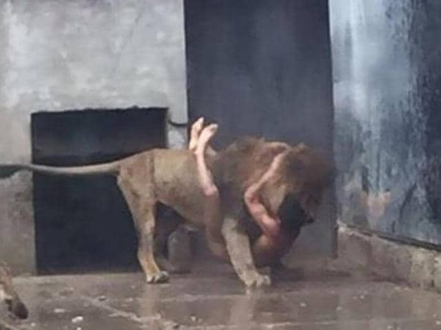 The carnivorous felines, a male and a female, instinctively attacked a man who entered their enclosure and had to be put down.