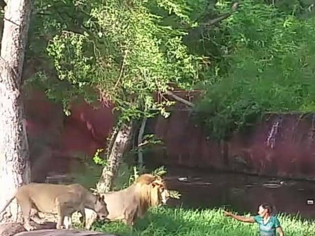 Mukesh in the lions' enclosure in Hyderabad's Nehru Zoological Park on Sunday.