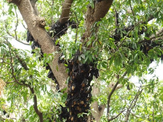 Bats lie dead after they fail to cope up with the heatwave in Jhabua district.