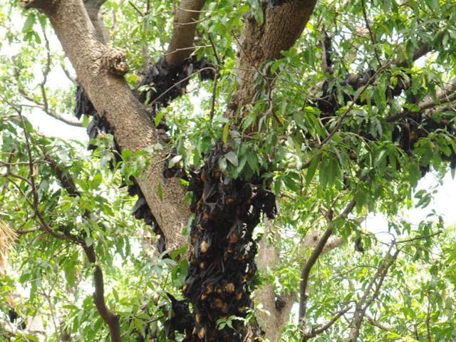 heat kills bats in MP