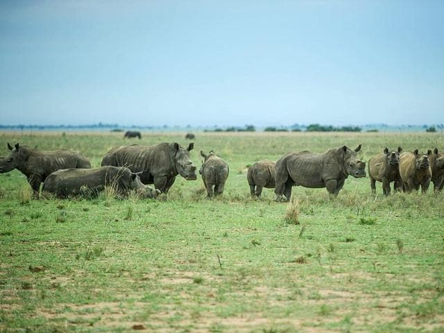 Rhinoceroses roaming in a field at the John Hume's Rhino Ranch in South Africa.