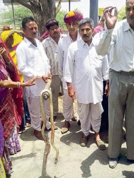 Villagers show the dead snake during their protest in Ajmer on Monday.