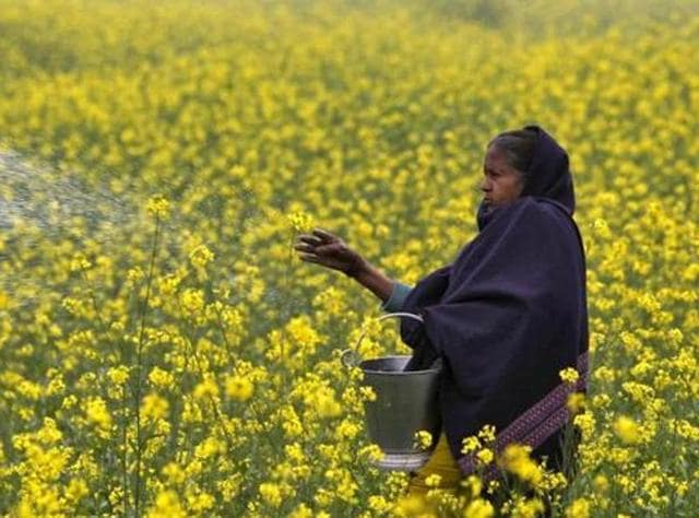 In this file photo, a farmer casts urea on her mustard field in Allahabad.