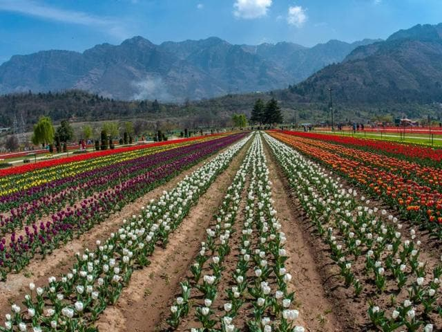 In March this year, more than two million bulbs bloomed in the Siraj Bagh, Asia's largest tulip garden.(Getty Images)