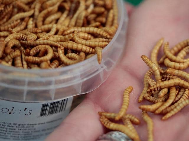 An attendee of the 'Eating Insects Detroit: Exploring the Culture of Insects as Food and Feed' conference shows edible freeze-dried mealworms at Wayne State University in Detroit, Michigan.