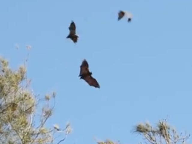 Bats,Grey-headed flying fox,flying fox