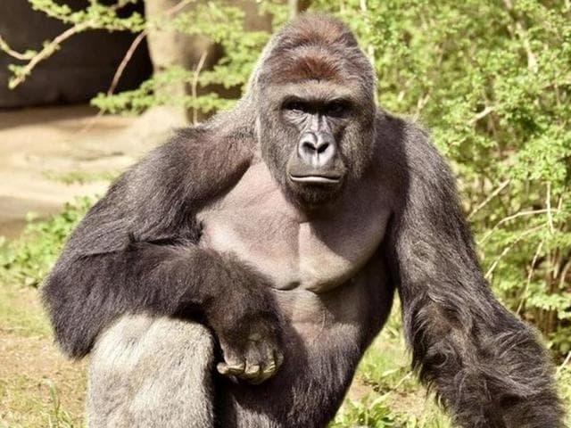 Cincinnati Zoo,Gorilla killed in US zoo,Boy falls into gorilla enclosure in Cincinnati zoo