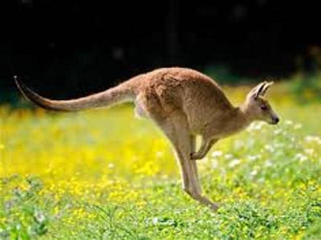 "A kangaroo jumped onto a woman cycling in South Australia, rupturing her breast implants and using her as a ""little airbag"", she told local media Tuesday."