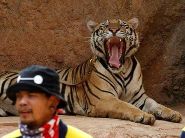 Wildlife officials sedate a tiger at the