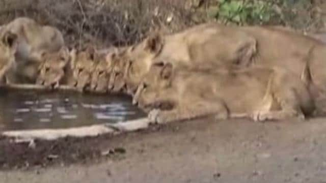 A group of Asiatic lions, including cubs were seen at a watering hole in Gujarat's Gir National Park. With the region staring at water scarcity in the coming months, concerns are being expressed over the well being of the prized animal, lion. Gir, which receives around 1800 mm of rainfall annually, only got about 600 mm last year. The Asiatic lion also known as the Indian lion is a lion subspecies that exists as a single population in Gujarat.