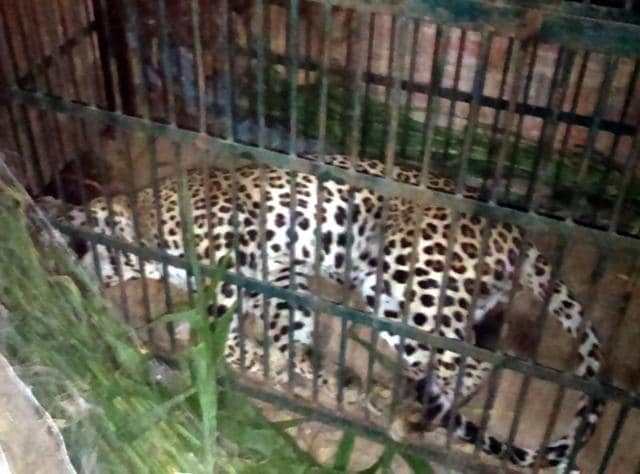 The leopard which was tranquilized and caged on Wednesday