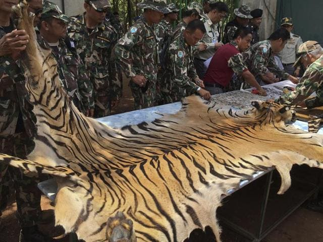 National Parks and Wildlife officers examine the skin of a tiger at the 'Tiger Temple', in Saiyok district in Kanchanaburi province, west of Bangkok, Thailand, Thursday.