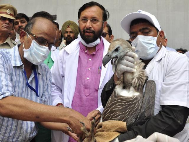 Staff check the monitoring tag of one of two vultures that were released into the wild in the presence of Union environment minister Prakash Javadekar (centre) at Jatayu Conservation Breeding Centre, Pinjore, near Panchkula on Friday.