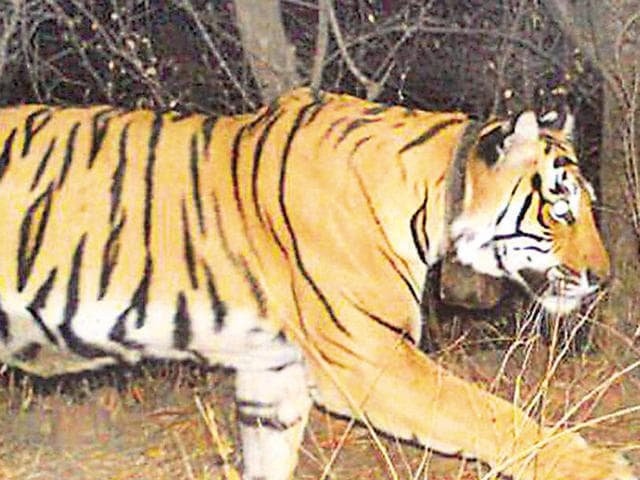 The Pilikula Biological Park now has 11 tigers, including the cubs.