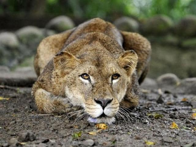 Another lioness at the Etawah Lion Safari is reportedly infected with canine distemper, which killed an adult lion (Kuber) on Thursday taking the death toll at the Safari to nine.