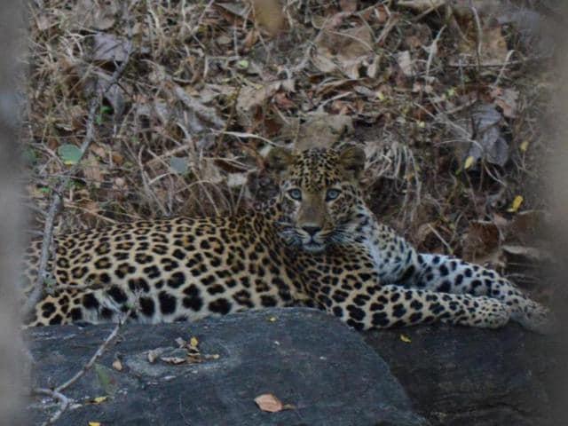 tiger spotting,lion spotting,wildlife in Maharashtra