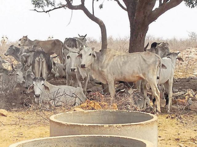 A survey by the administration of three districts showed that around 800 cows have been abandoned on the plateau and half of them are believed to have died.