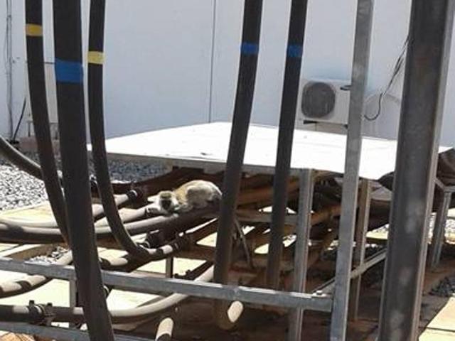 Kenya monkey mayhem,monkey causes power outage,kenya power cut due to monkey