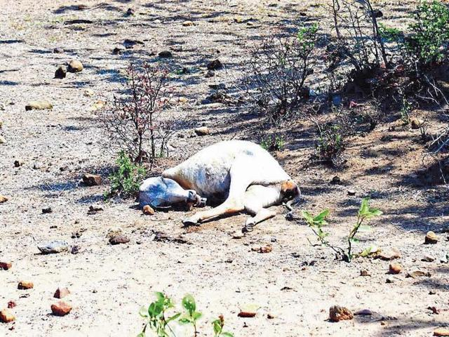In 37 villages, nearly 90% of the 14,000 cattle were abandoned by drought-affected villagers.
