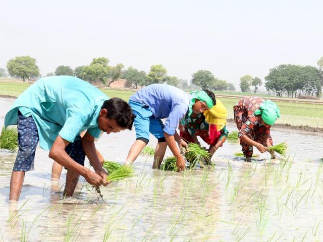 Labourers were seen planting paddy at Kotshamir village near Bathinda on Tuesday.