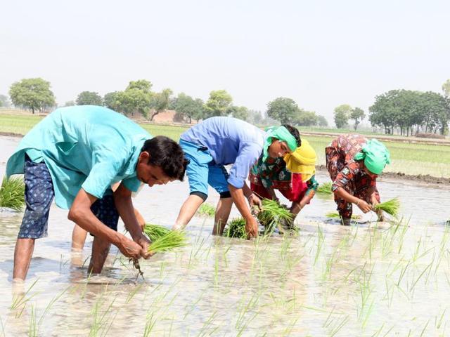 Punjab,Punjab farmers,paddy