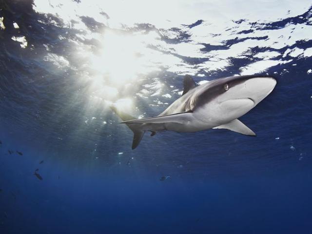 A Silky shark