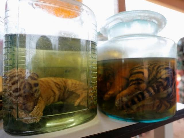 Tiger cub carcasses are seen in jars containing liquid at the Tiger Temple in Kanchanaburi province.