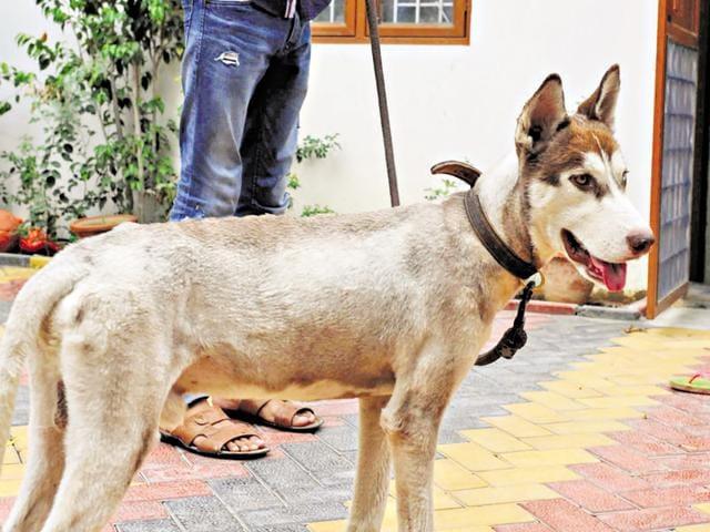 dog abducted,siberian husky,zoru