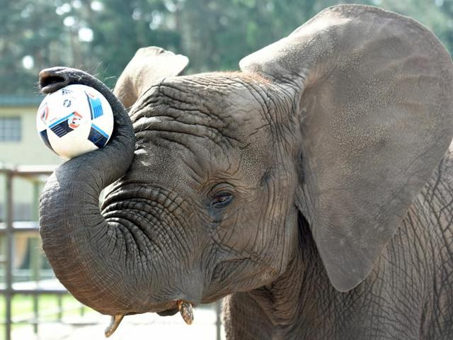 Elephant Nelly controls the ball, as an