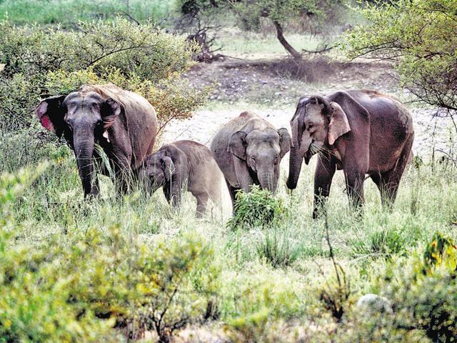 West Bengal elephants,Culling wildlife,Elephants damaging crops
