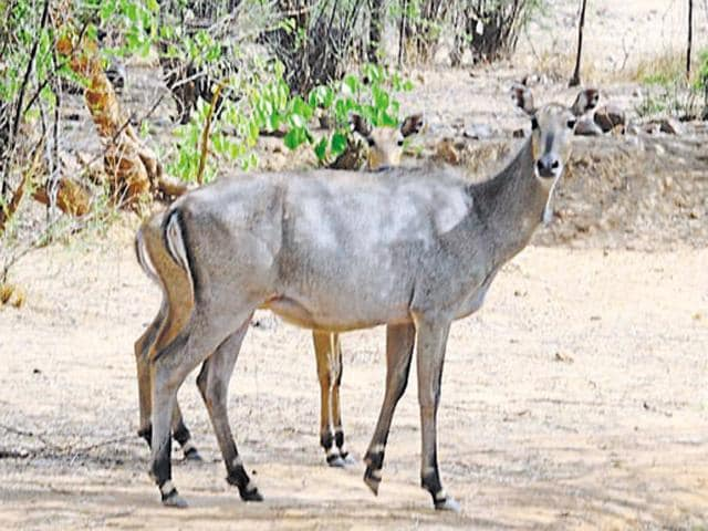 According to wildlife officials, Nilgais have been damaging crops in many parts of the state – including Bhind, Morena, Chhattarpur, Rewa, Satna, Shajapur and Agar districts