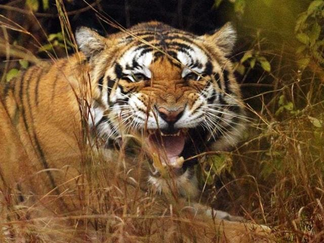 The 11-year-old tigress was raised in Kanha national park after it was found abandoned as a cub in the forest by field staff.