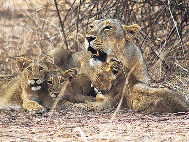 Gujarat,Gir National Park,Lions