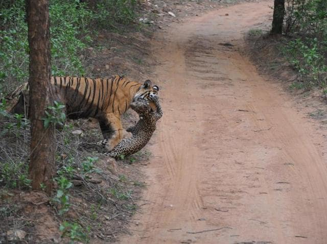 Tiger ST-3 carries a leopard's carcass in its mouth near Kala Kuan area in Sariska.
