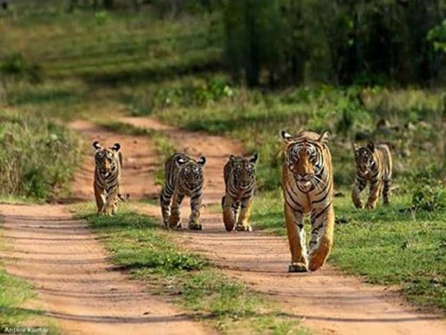 Cubs with their mother at Bandhavgarh Tiger Reserve. Forty six tiger cubs have been sighted on camera trap photographs in the reserve.