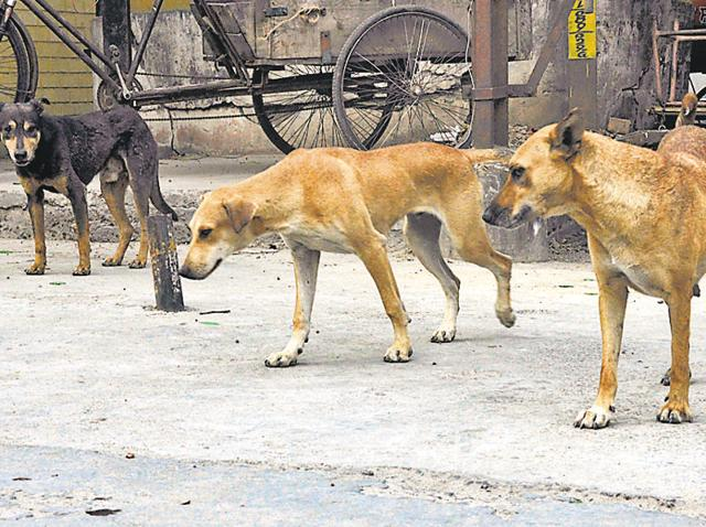 Stray dogs in Patiala, Punjab. Some residents of a village in Tamil Nadu reportedly sedated and burnt alive around 50 stray dogs as the dogs had attacked their goats and sheep.