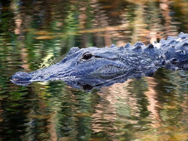Alligator kid