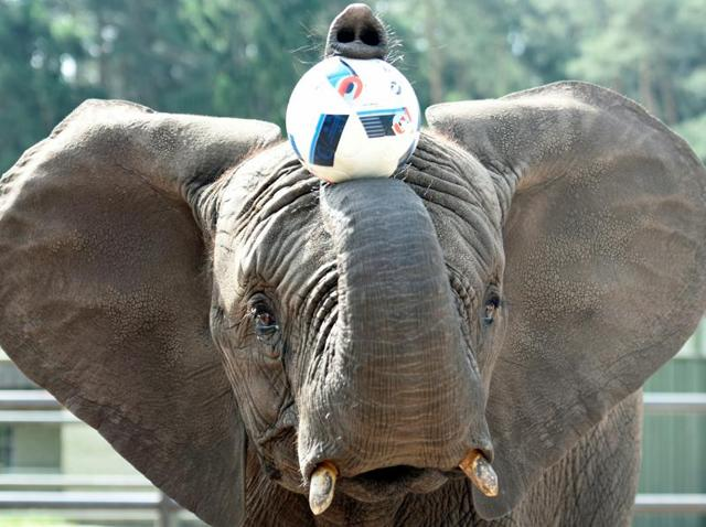 Elephant Nelly plays with a ball, as an