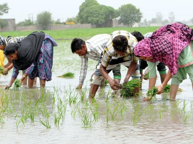 paddy-sowing season