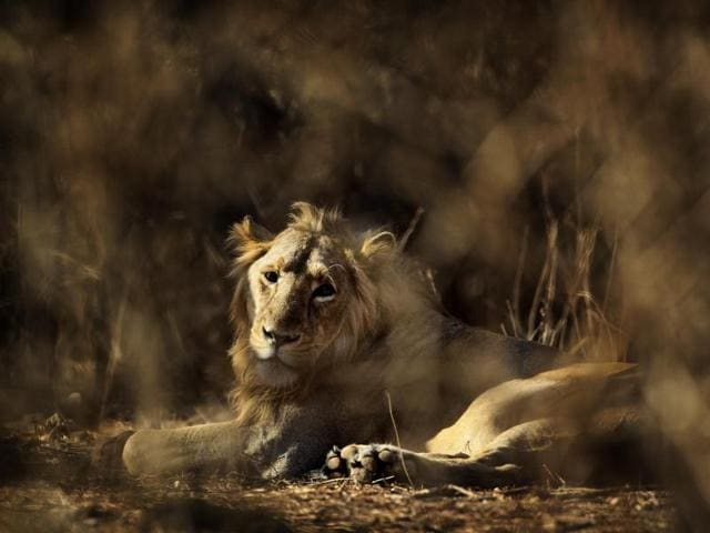 A lion rests at the Gir Sanctuary Forest Reserve in Gujarat.  Forest officials have sentenced three lions to life in captivity after they were found to have eaten humans.