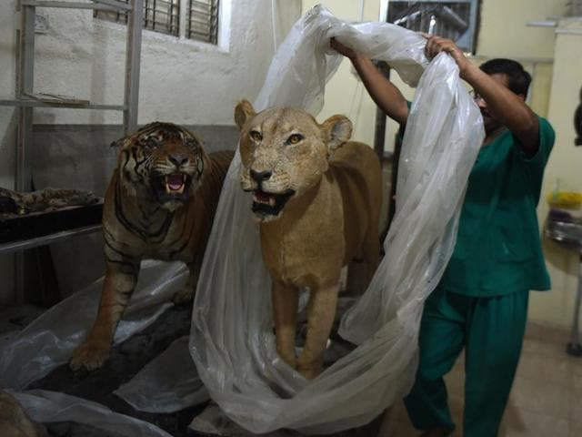 India's last practising taxidermist, Santosh Gaikwad, removes a plastic sheet protecting a stuffed lioness in the taxidermy centre at the Sanjay Gandhi National park in Mumbai.