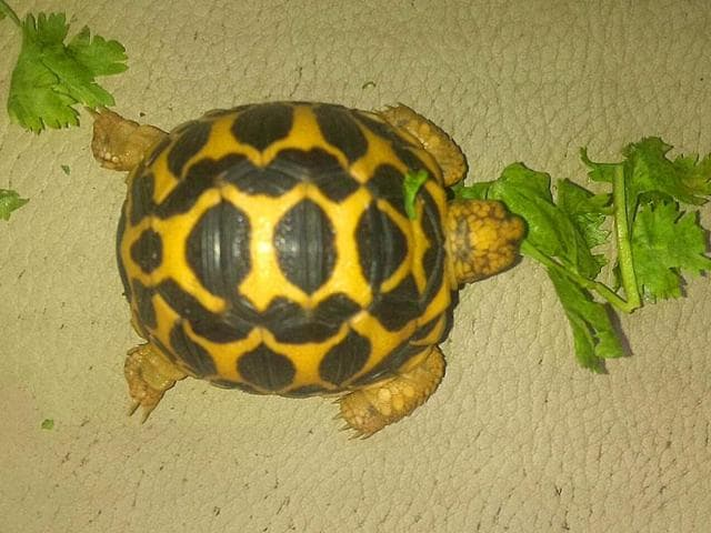 File photo of an Indian star tortoise.