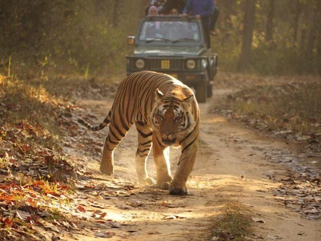 Royal bengal tiger in Kanha Tiger Reserve.